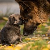 Houding van hondenfokkers en prevalentie van erfelijke gebreken onderzocht