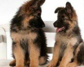 De zoektocht wordt vergemakkelijkt met de nieuwe puppy-lijst!