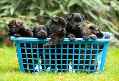 Mand pups